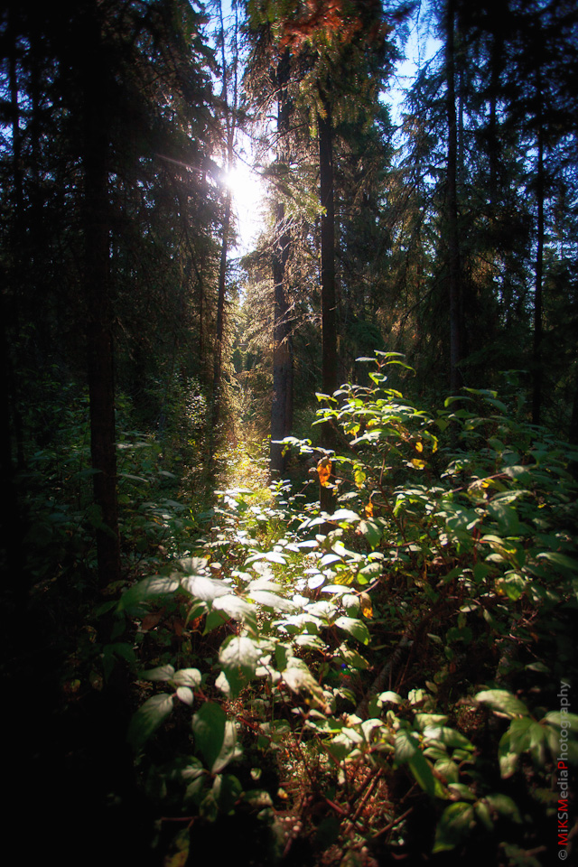 forest morning sun leaves nature edmonton photography