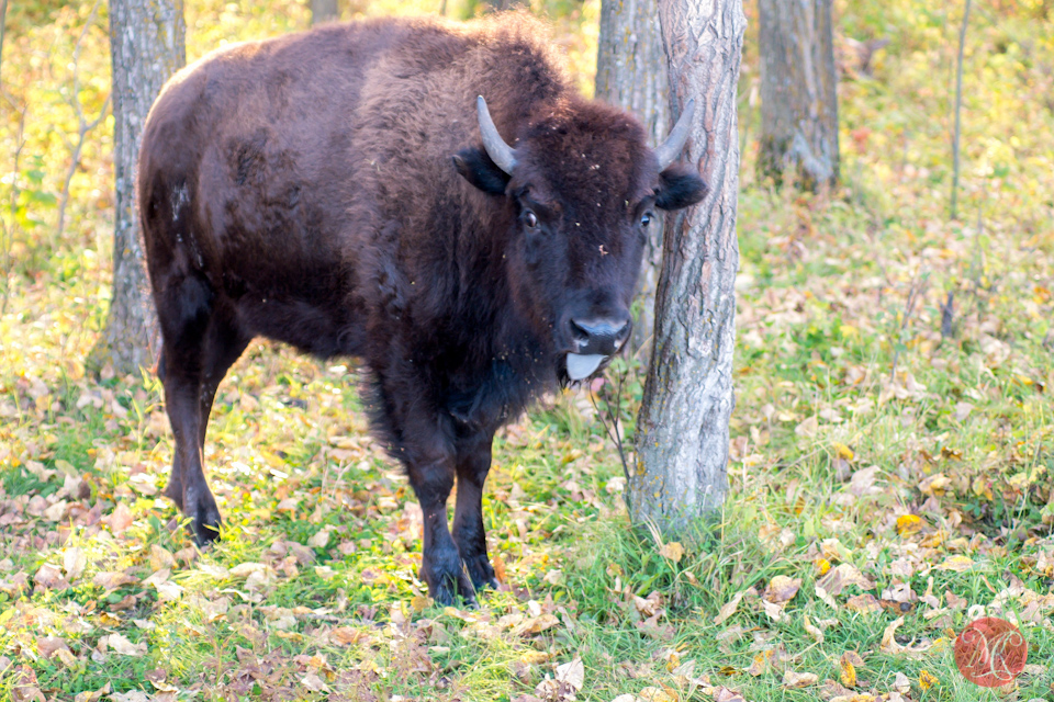 bison-cow-alberta-park-wildlife