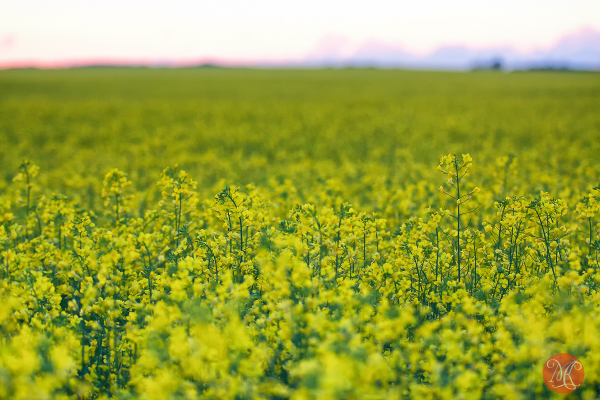 Missing canola fields.. 1