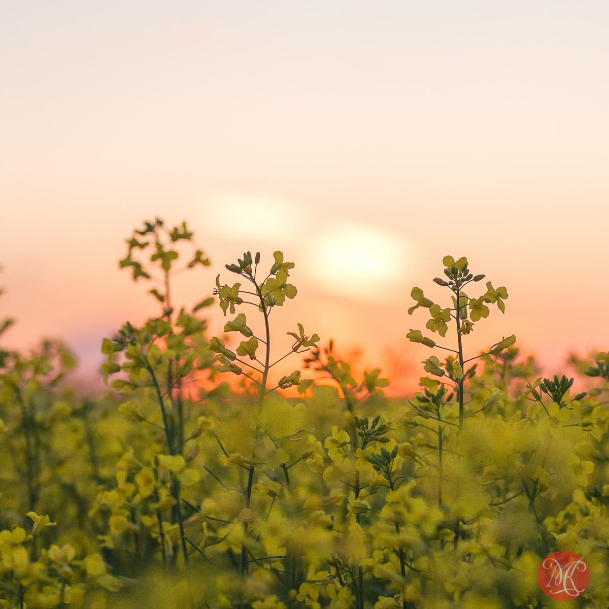Canola sunset.. 1