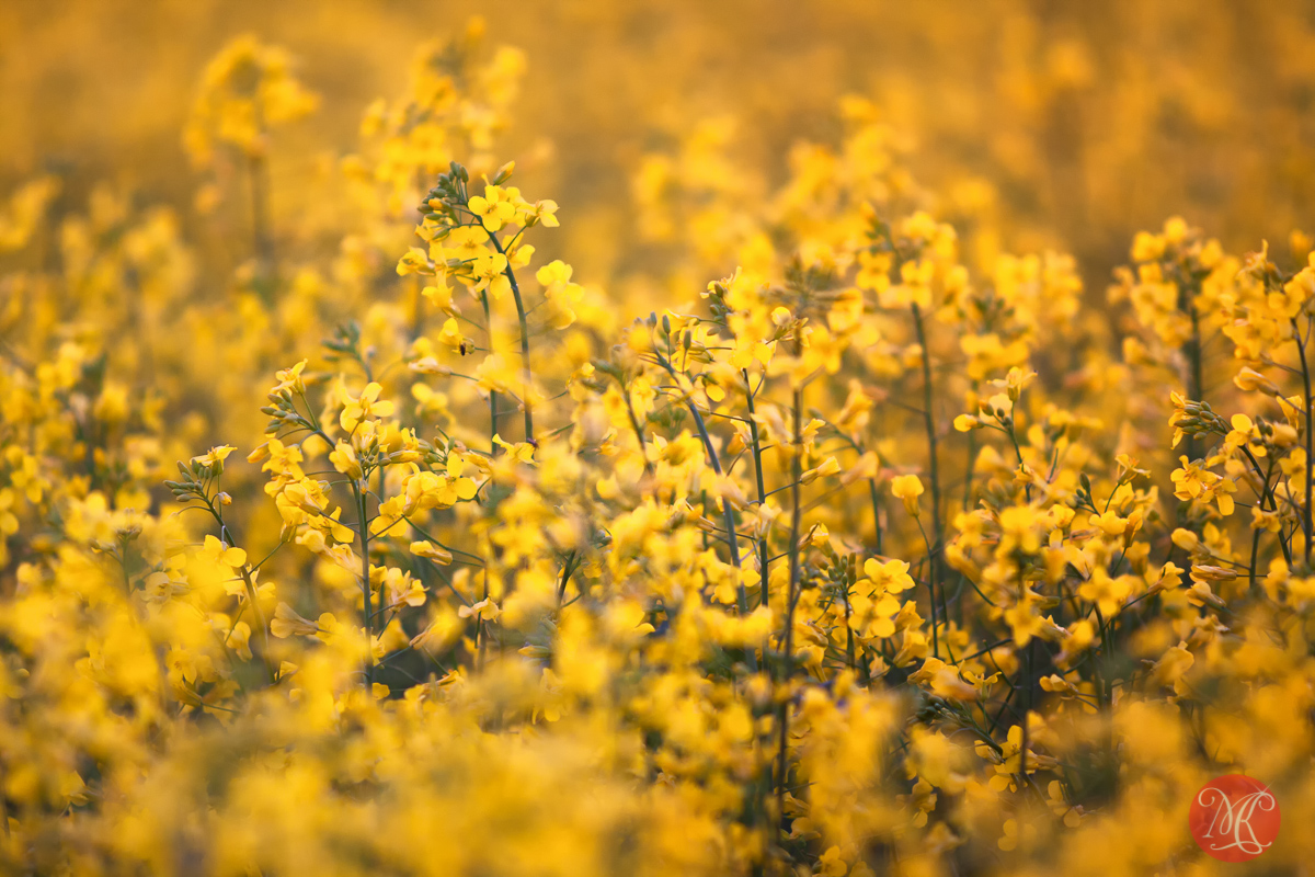Canola sunset.. 3