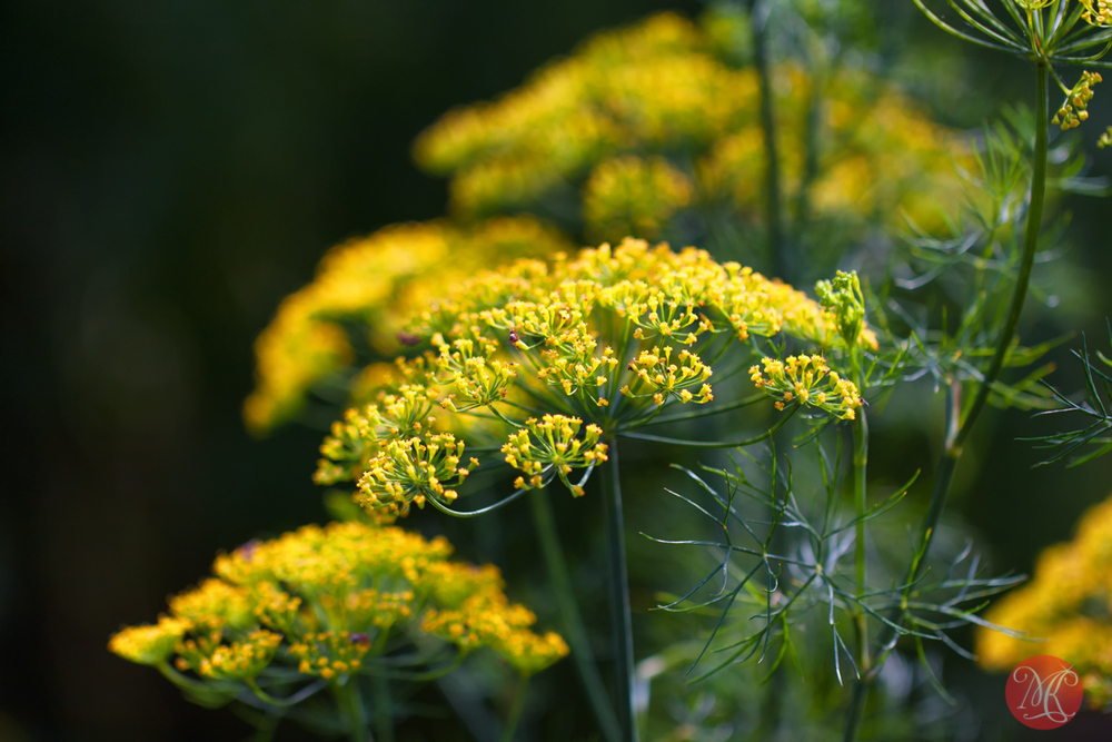 Summer beauty..9 (Dill-licious)