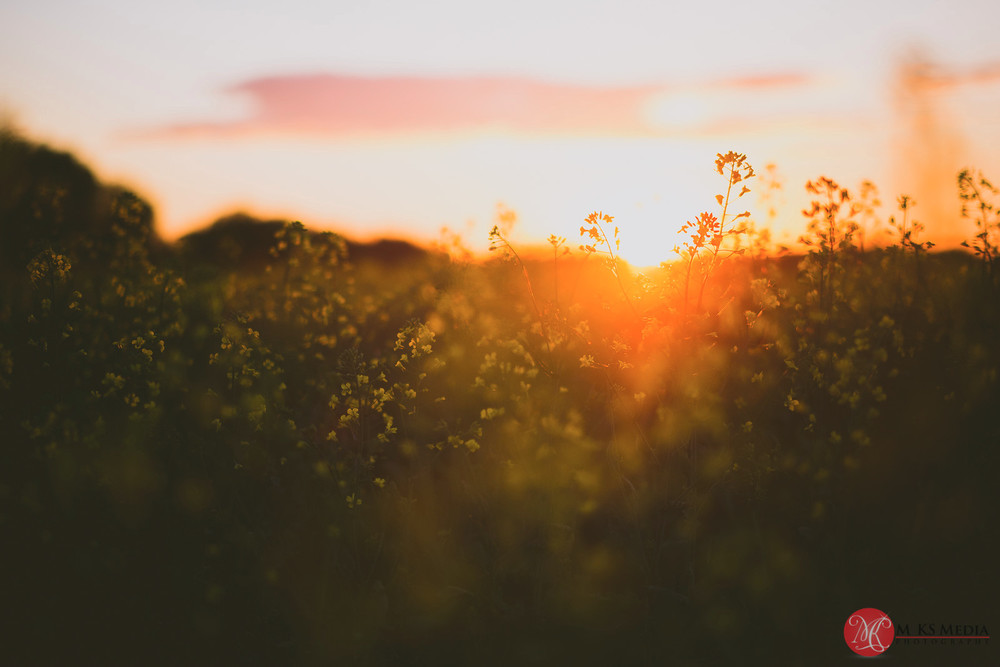 Alberta canola field sunset