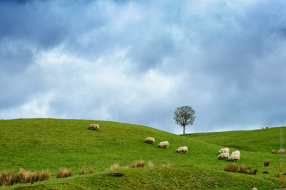 9-tree-scotland-highland-sheep.jpg