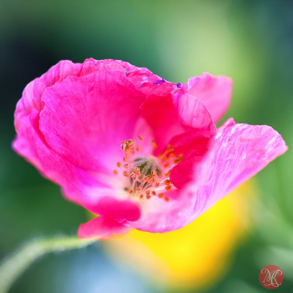 Pink looks exceptionally good on a poppy ;)