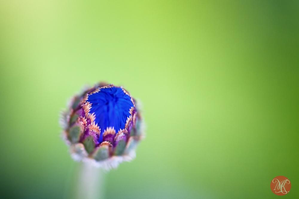 Cornflower baby