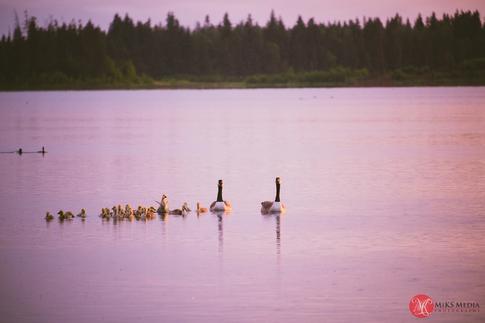 geese in the rain at elk island alberta
