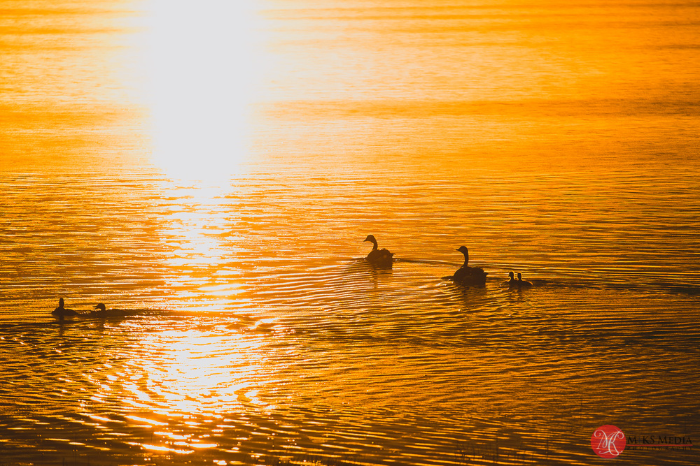 geese on the golden pond at elk island alberta