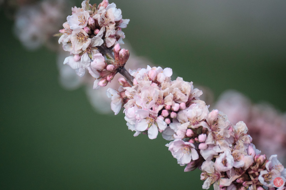 Spring flowers with Sigma 600mm and Fuji X-T1