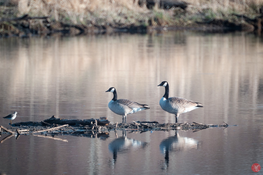 Geese reflections with Sigma 600mm and Fuji X-T1