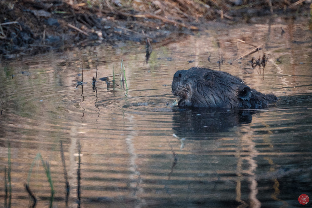 Beaver with Sigma 600mm and Fuji X-T1