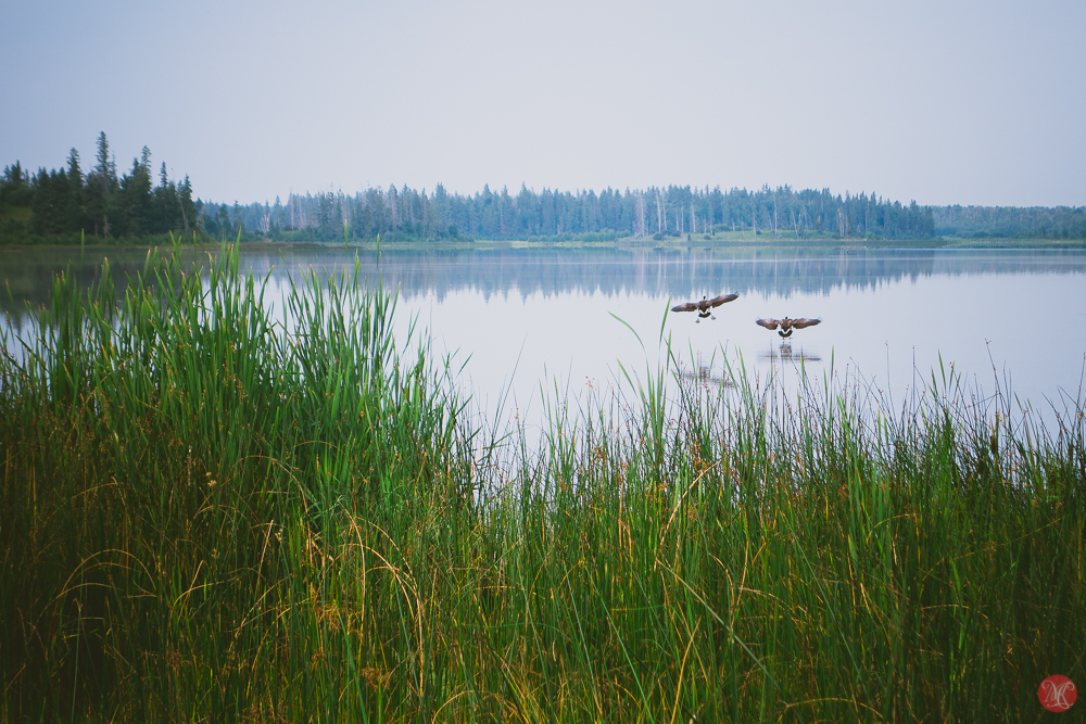 canadian geese coming for a landing in elk island national park