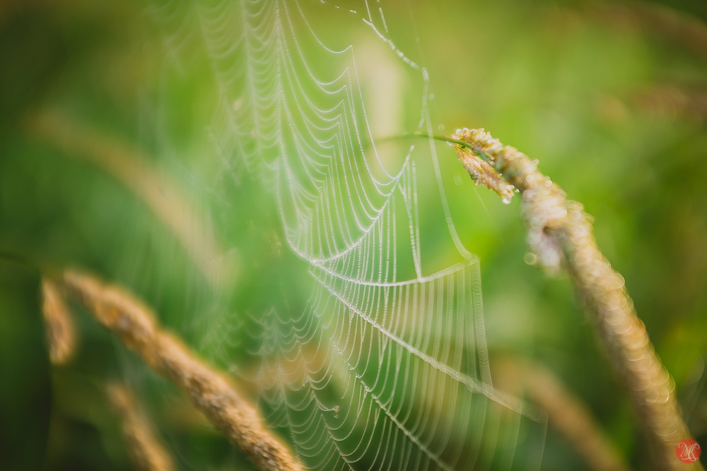Grass abstract with morning dew and spider web