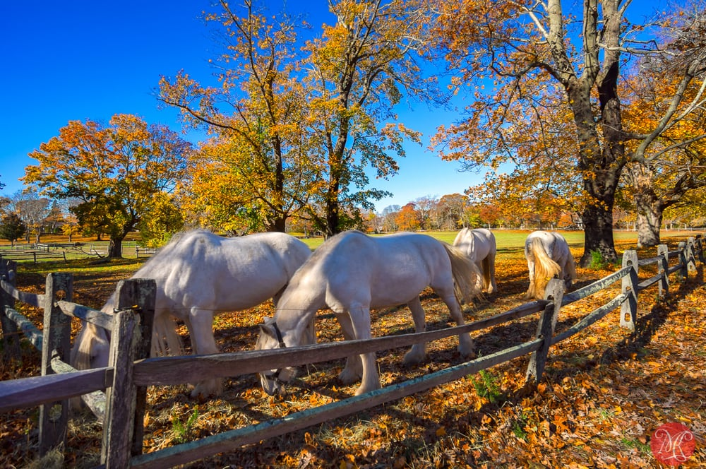 Horses on Long Island in fall