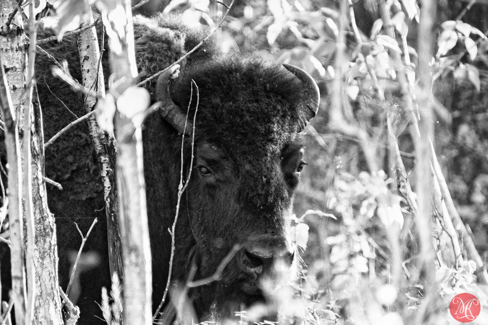 Bison in the woods