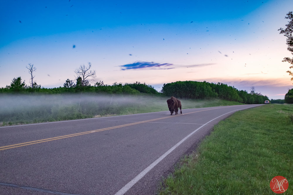 Bison, mosquitoes and fog..