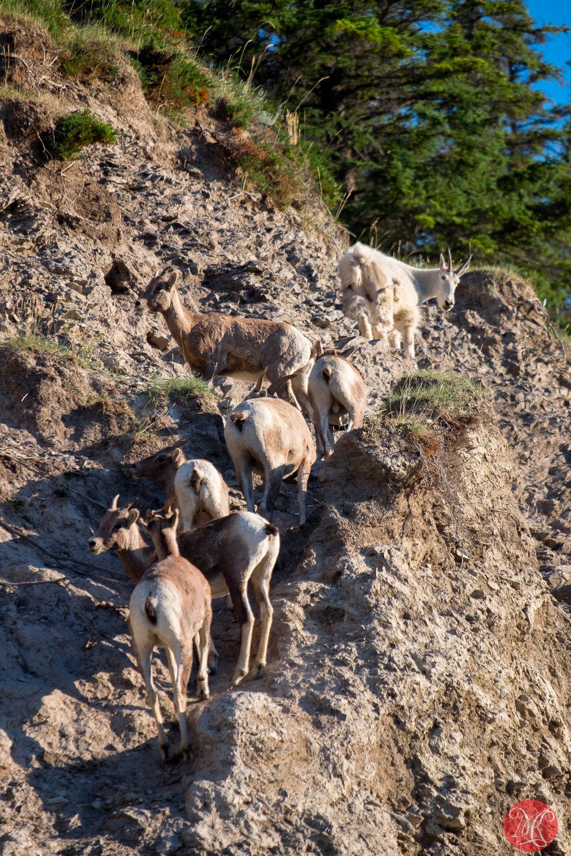 Goat leading sheep..