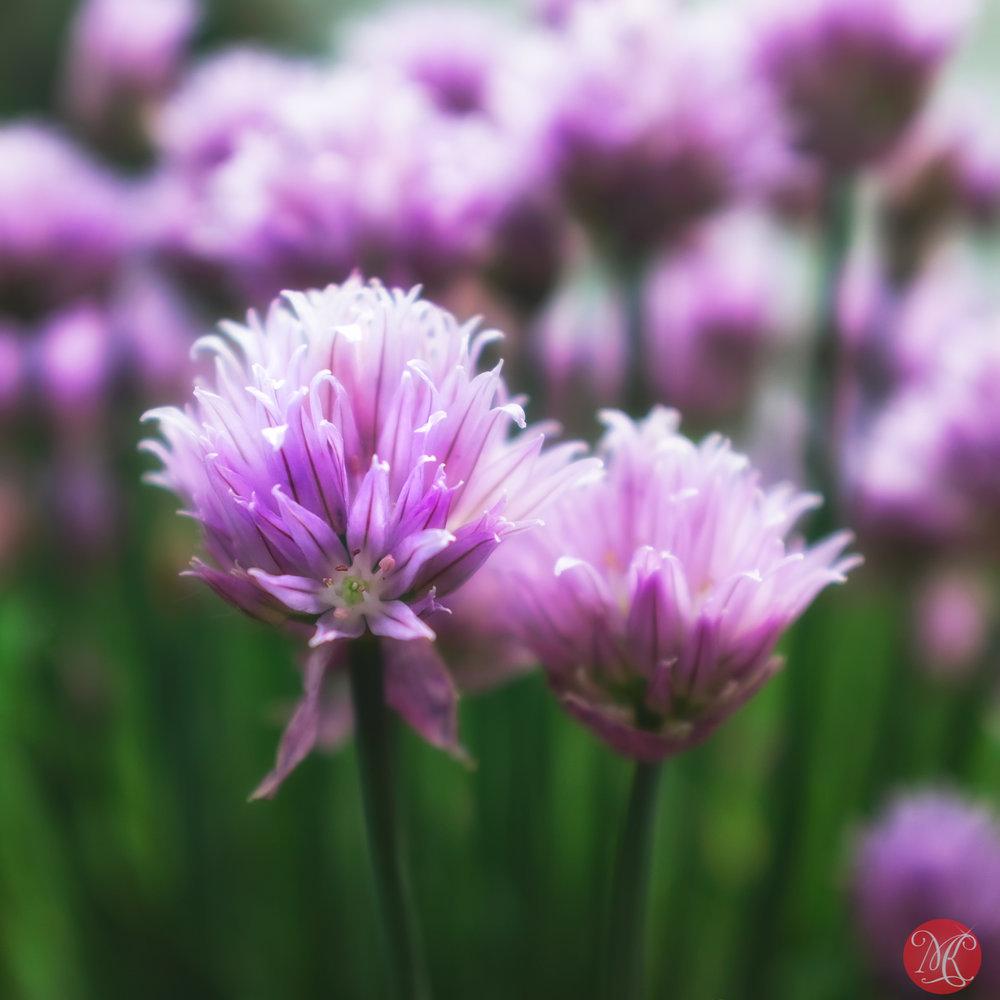 Spring onion ;D