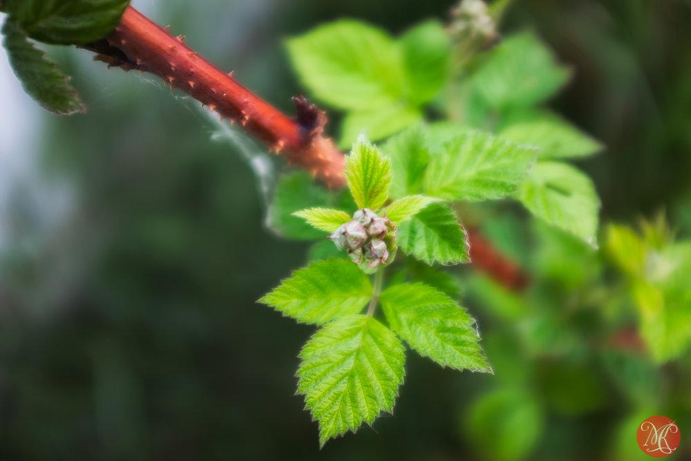 Raspberries in spring
