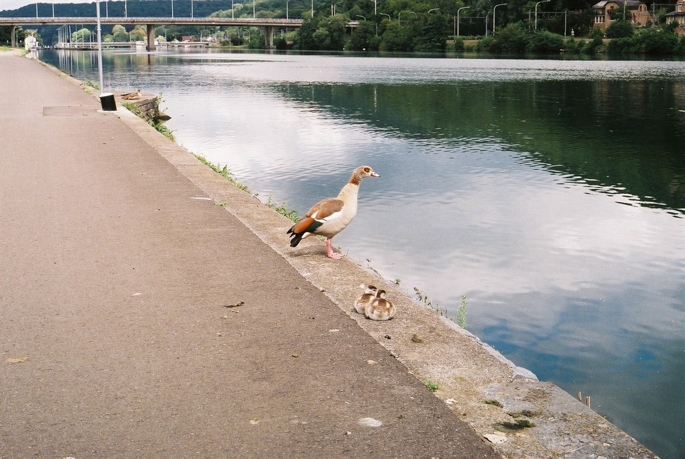 duck, goose, swan, bird photography, photography, photography blog, bicycle touring apocalypse, canon, canon ae-1, film camera, 35mm, film is not dead, shoot film, film shooters, photography, no filter, travel, travel blog, bikepacking blog