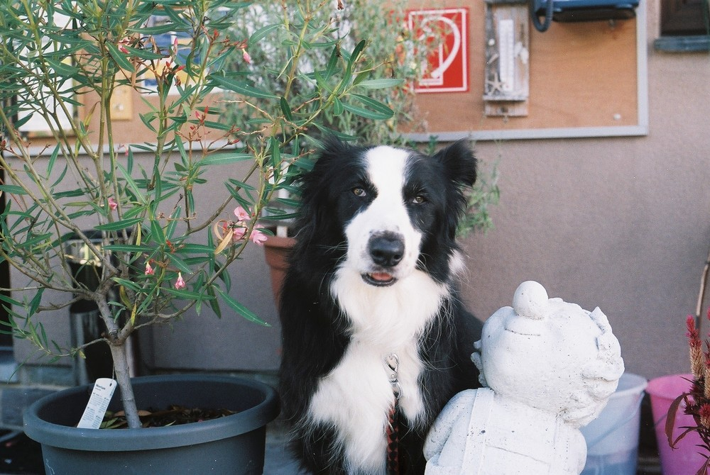 dog, collie, mans best friend, canon, canon ae-1, 35mm, film photography, film shooters, film is not dead, grain is good, animal, nature, bicycle touring apocalypse