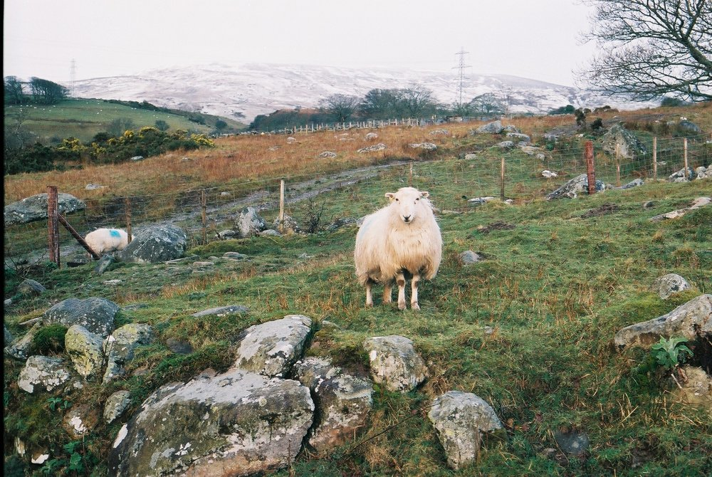 sheep, wales, welsh, wales sheep, travel, travel blog, bikepacking, bikepacking blog, the welsh coast to coast, coast to coast, bicycle touring apocalypse, cycling, cycling blog, bicycle, cycle, cycling gear,canon, canon ae1, 35mm film photography, photography blog