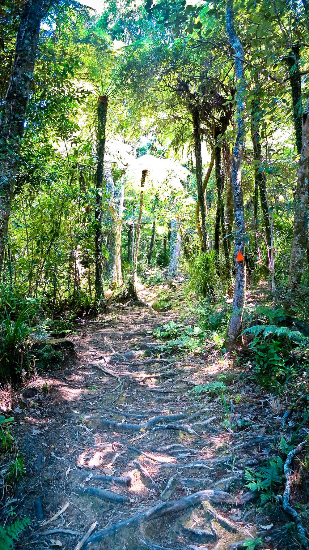 Hiking the Kauri Grove Walkway in New Zealand