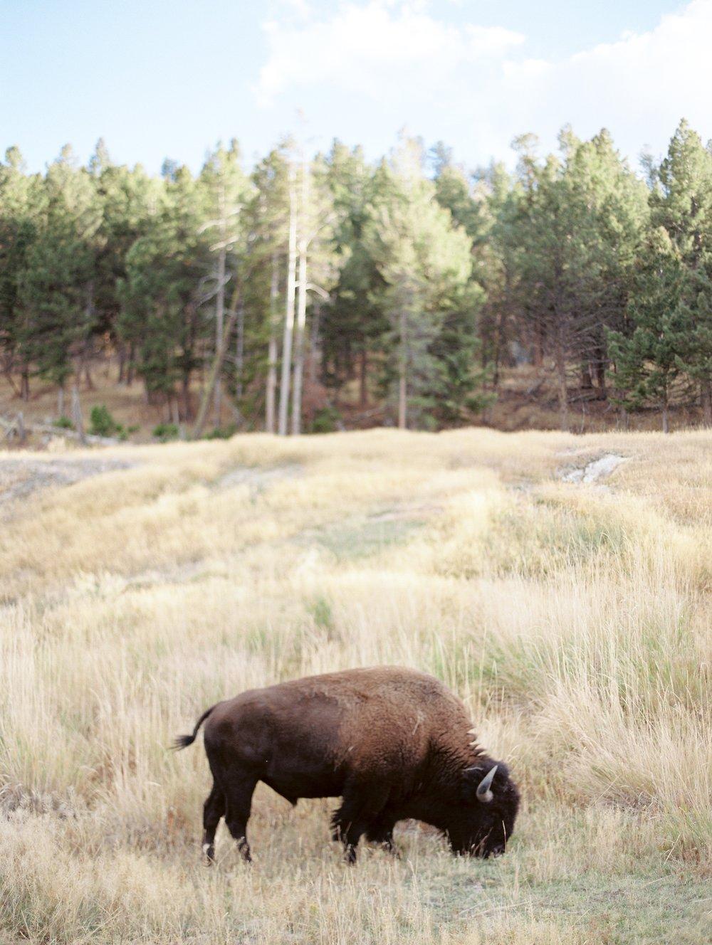 Buffalo-Montana-Wyoming-Yellowstone-Jacquelyn-Hayward-Film