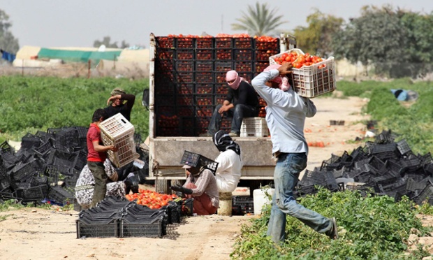 Syrian workers living in Jordan work on a tomato farm in Shouneh. Varying degrees of drought are hitting almost two thirds of the limited arable land across Syria, Lebanon, Jordan, the Palestinian territories, and some researchers say it's contributing to conflict. Photograph: Muhammad Hamed/Reuters.
