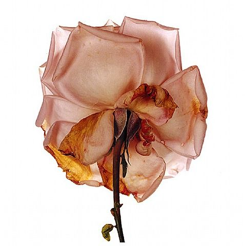 artnet-galleries-flower-by-irving-penn-from-hamburg-kennedy-photographs-1363897174_b.jpg
