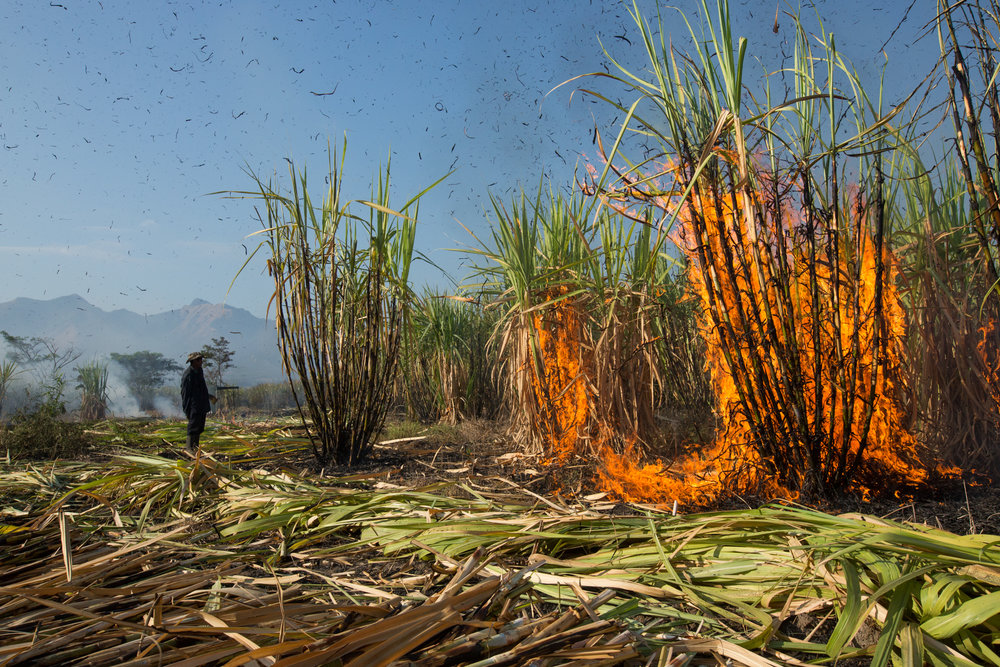 A section of green cane that went unburnt the night before is torched to discard of the leaves while workers proceed to cut through the field in Los Almendros, Cuscatlan, El Salvador.