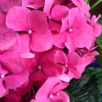Enjoying Easter as long as possible with these bright hydrangeas from my parents.