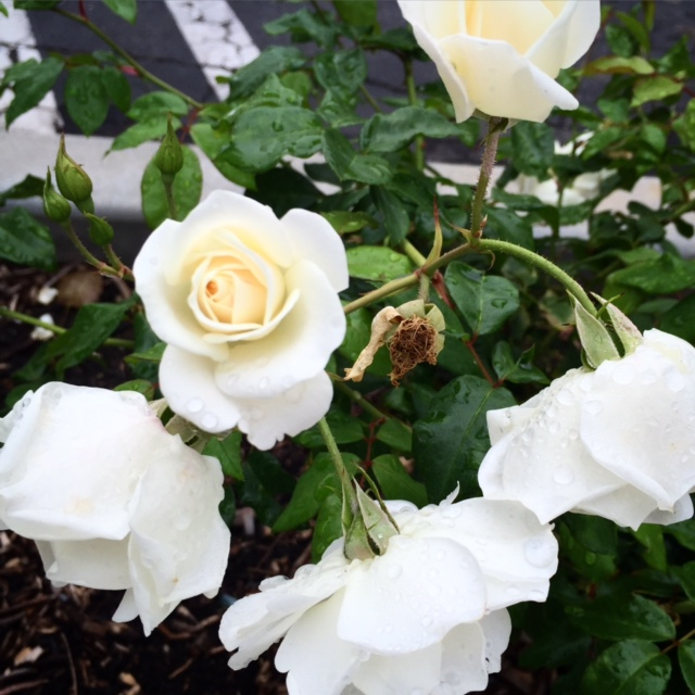 Just appreciating the little things around me - some lovely white roses outside the office.