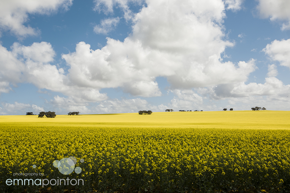 Canola Fields Wedding