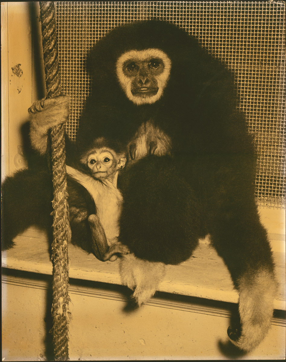 2 gibbons 2.jpg