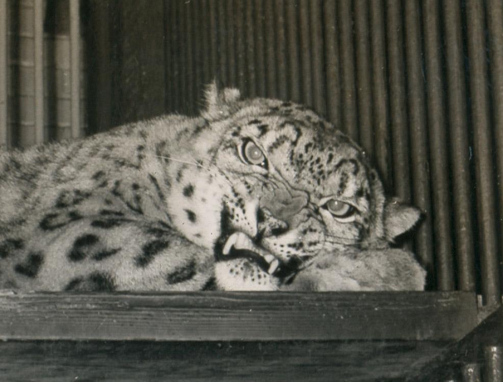 leopard CU.jpg