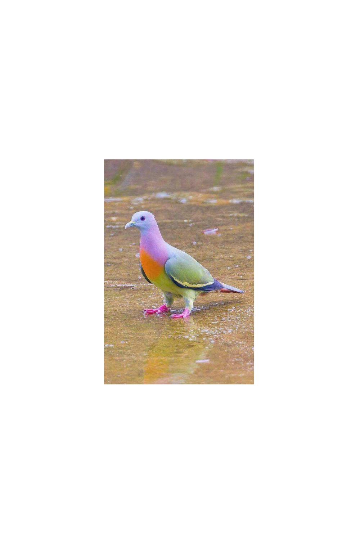 rainbow dove.png