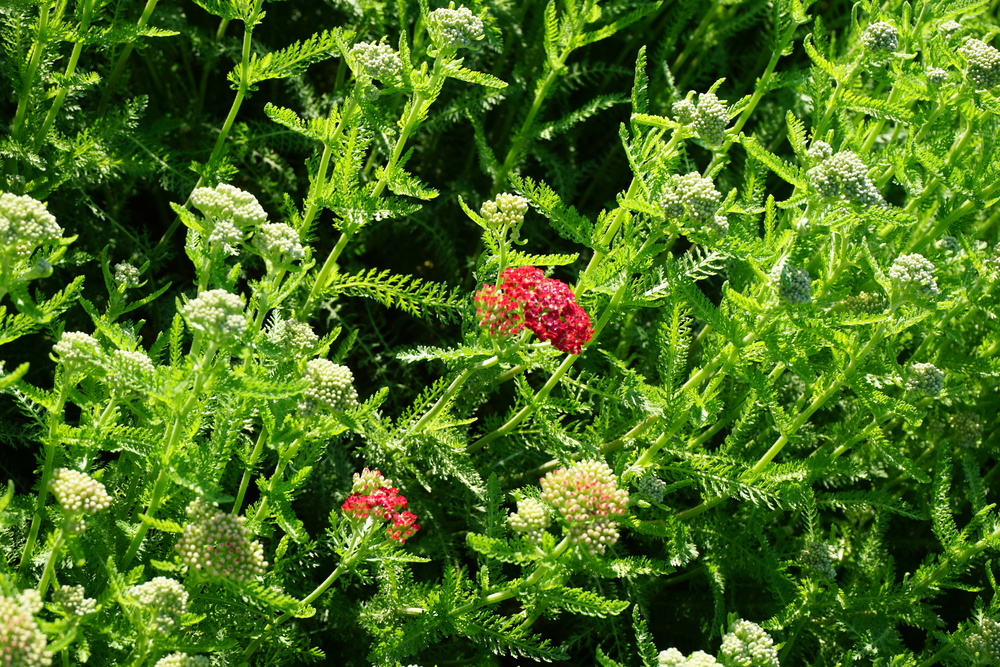 paprika yarrow, getting ready to bloom