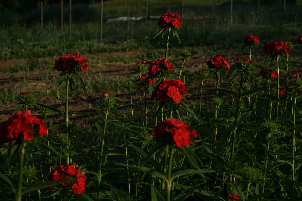 dianthus, often used in dessert recipes