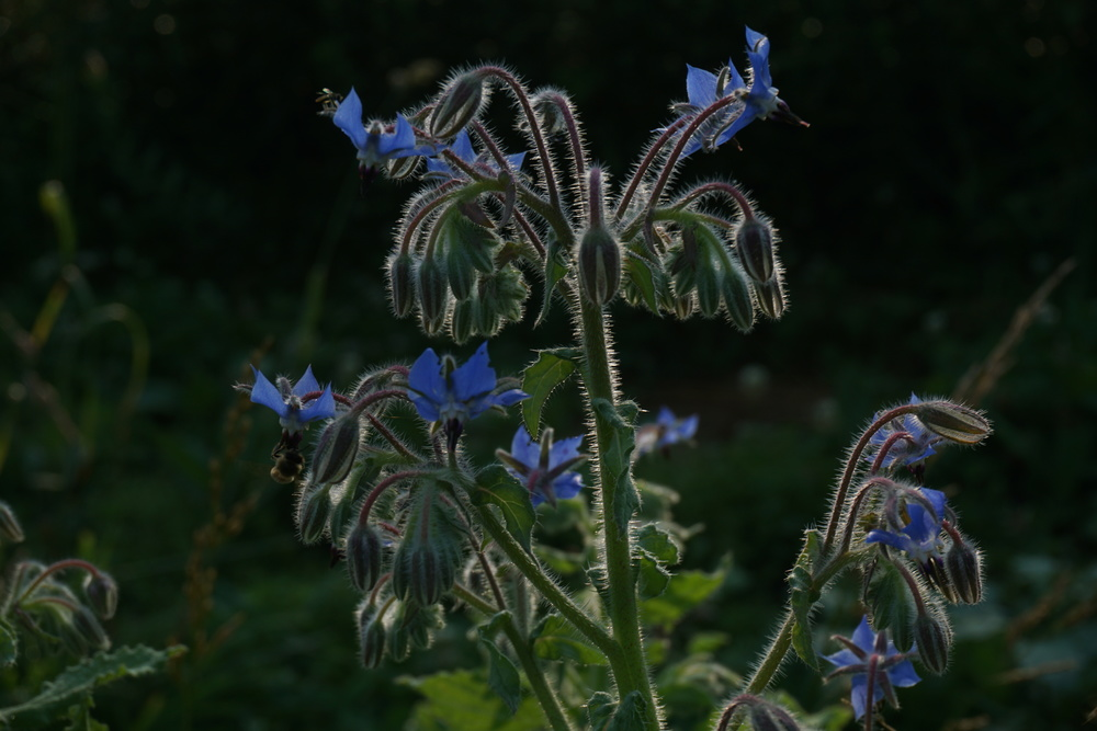 Borage flowers have a cucumber flavor