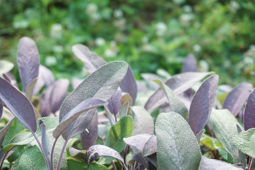 green and purple sage