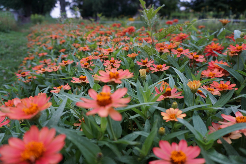 Profusion light apricot zinnias