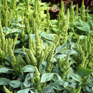 Green Thumb Amaranth