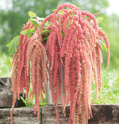 Coral Fountain Amaranth