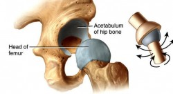 The ball-and-socket configuration of the hip joint