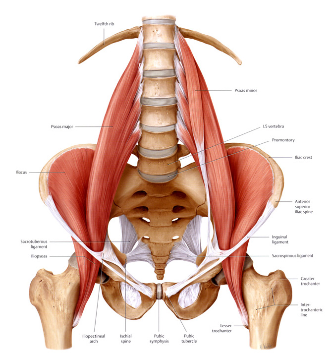 Image of the psoas and iliacus muscles, collectively referred to as the iliopsoas.