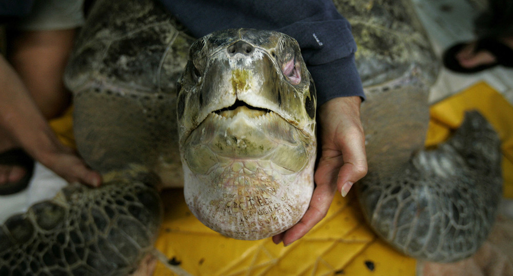 "The Virginia Aquarium Stranding Response Team, takes care of a 325 pound Green Sea turtle at the Stranding Center, the team rescue the turtle, named ""Tiki"", from an entanglement in the waters off Dam Neck, in Virginia Beach, Virginia."