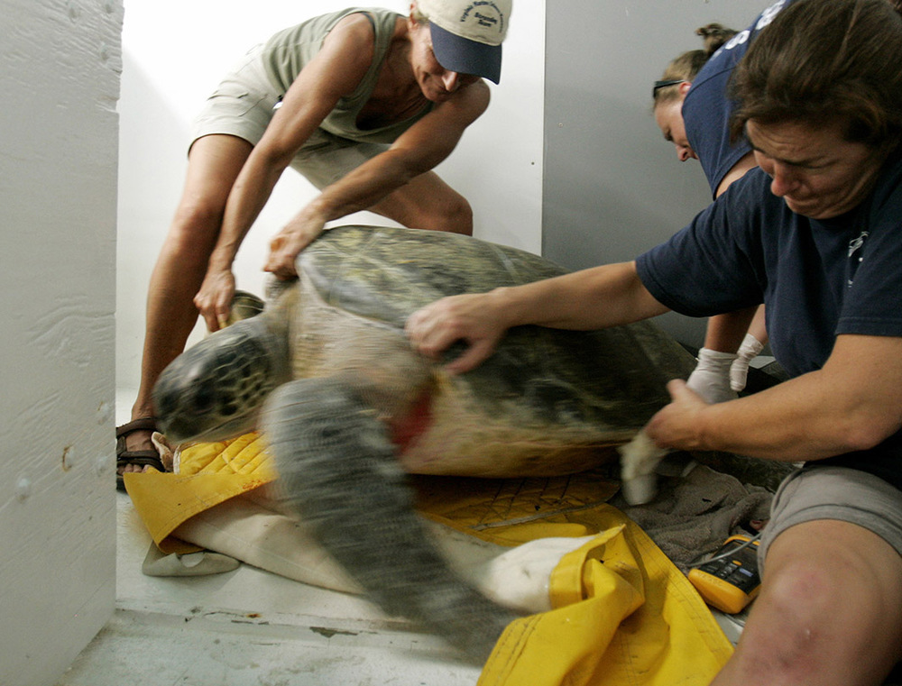 Wendy Walton, Lisa Wright, and Christina Trapani with the Stranding Response Team care for the 325 pound Green Sea turtle at the stranding center.