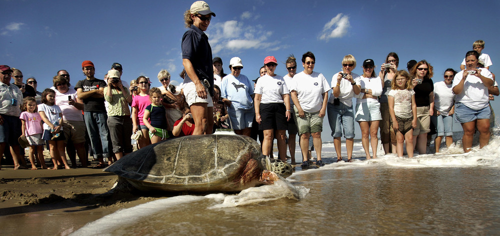 Wendy Walton with the Virginia Aquarium Stranding Response next to Tiki, a 325 pound Green sea turtle as the turtle is released on the beach of the Back Bay National Wildlife Refuge.
