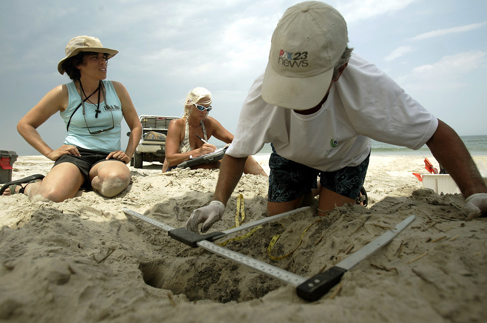 Loggerhead sea turtle eggs being move to the Back Bay nursery site behind the dunes.